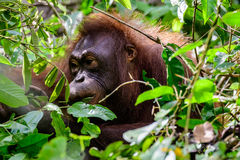 Face of an Orangutan appearing through the leaves. Headshot of an Orangutan`s face appearing through the leaves Royalty Free Stock Image