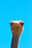 Face of Ostrich stock photography