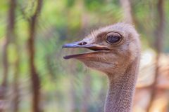 Face of the ostrich or common ostrich Struthio camelus is either one or two species of large flightless birds. Close up face of the ostrich or common ostrich Stock Photography