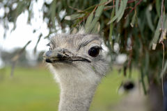 Face Ostrich Royalty Free Stock Photos