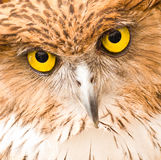 Face of Owl Stock Photography