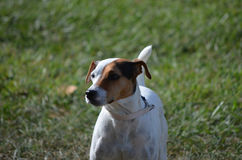 Face of a Parson Russel Terrier Dog Stock Image