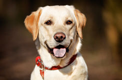 Face of pedigree dog Royalty Free Stock Photos