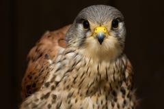 Face peregrin - prey bird Royalty Free Stock Photo