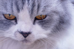 Face of Persian Angry Cat Close Up Royalty Free Stock Images