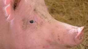 Face of a pig.