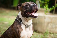 Face of Pitbull dog Royalty Free Stock Photo