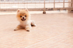 Face of pomeranian dog in home garden Stock Photography
