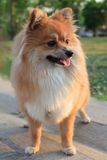 Face of pomeranian dog standign in the park Royalty Free Stock Images
