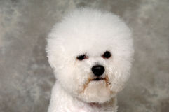 Face of poodle dog Stock Photo