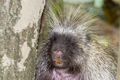 Face of Porcupine. Canadian or North American tree porcupine - Erethizon dorsatum - portrait stock photography