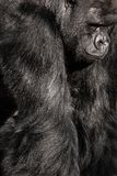 Face portrait of a gorilla male Royalty Free Stock Images