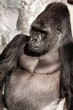 Face portrait of a gorilla male Royalty Free Stock Image
