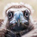 Face Portrait Of A Cinereous Vulture (Aegypius Monachus) Is Also Stock Image