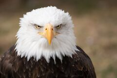 Free Face Portrait Of An American Bald Eagle Royalty Free Stock Photos - 174452488
