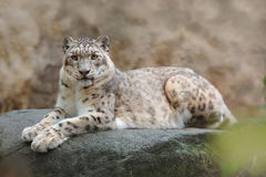 Free Face Portrait Of Snow Leopard With Clear Rock Background, Hemis National Park, Kashmir, India. Wildlife Scene From Asia. Detail Po Royalty Free Stock Photo - 80547755