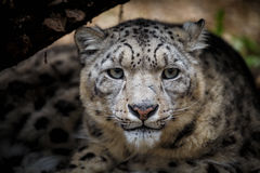 Face portrait of snow leopard - Irbis Royalty Free Stock Image