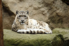 Face portrait of snow leopard - Irbis Stock Photo