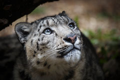 Face portrait of snow leopard - Irbis Stock Photography
