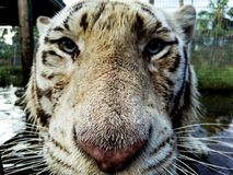 White Tiger Pretty Face. This is the face of a pretty White Tiger we met Royalty Free Stock Image