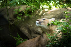 Face Profile of Adult Mountain Lion Puma Cougar Watching Prey in Woods. An adult Mountain Lion Puma Cougar Watching Prey in Woods with green plants and foliage Royalty Free Stock Images
