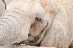 Face profile elephant Royalty Free Stock Images