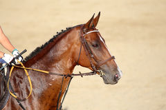 Face of a purebred racehorse with beautiful trappings under sadd Royalty Free Stock Photography