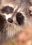 Face of raccoon. In nature Stock Photography