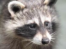 Face of raccoon. In nature Stock Image