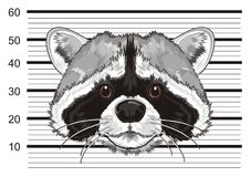 face of raccoon in prison Stock Photos