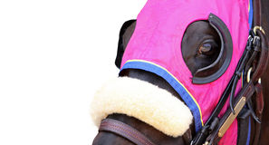 Face of a Racehorse. Close Up of Face of Racehorse on White with Copy Space Stock Photos