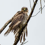 The Face of a Rain Drenched Hawk Royalty Free Stock Photo