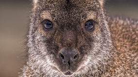 Face of a red-necked wallaby Royalty Free Stock Image
