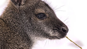 Face of a red-necked wallaby Stock Image