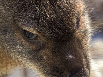 Face of a red-necked wallaby or Bennett's wallaby Stock Photos