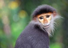 The Red-shanked Douc Langur. Face of the Red-shanked Douc Langur in the natural atmosphere Stock Photo