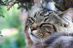The face of a relaxed tired Norwegian Forest Cat in the garden Royalty Free Stock Image