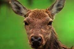 Face roe deer Royalty Free Stock Photos