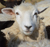Face of a Romney Ewe Royalty Free Stock Photography