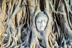 The Face in the Root. The root embrace the budha face Stock Photography