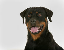 Face of Rottweiler dog Stock Images