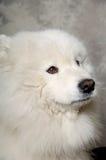 Face of sad samoyed dog. Samoyed dog with sad face Royalty Free Stock Images