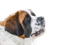 Face of Saint Bernard dog breed Stock Image