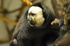 Face of a Saki Monkey Stock Photos