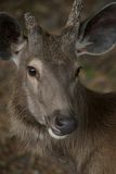 Face of sambar deer. With missing antler Royalty Free Stock Images