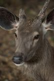 Face of sambar deer turned. With missing antler Stock Images
