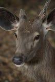 Face of sambar deer turned Stock Images