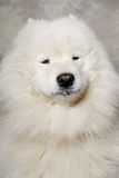 Face of samoyed dog Stock Images