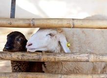 Face of a sheep in a cage Stock Photos