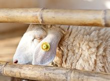 Face of a sheep in a cage Royalty Free Stock Photography